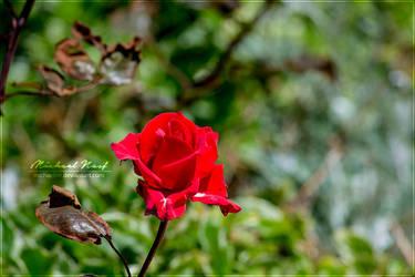 Rose by MichaelNN