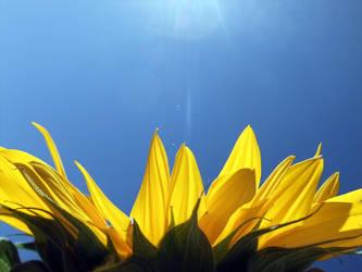 Sun-Flower by krstp