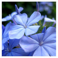 Blue Flowers. by Miccy
