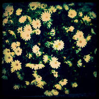 daisies in my garden by leukoula