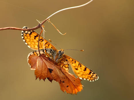Autumn butterfly by dralik