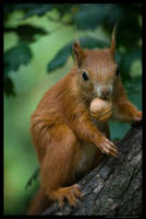 Squirrel - nut by Gregsign