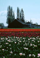 Skagit Valley Tulips by photoscot