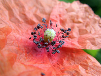 Open Poppy Flower by PennPoint