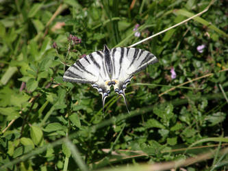Scarce Swallowtail by PennPoint