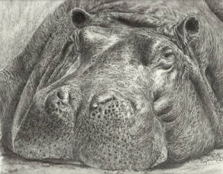 Hippo  by Pappa60
