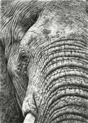 Elephant by Pappa60
