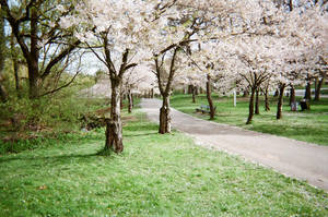 Cherry Trees in High Park by MissIzzy