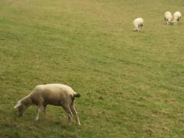 Sheep Grazing in Chawton by MissIzzy