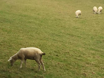 Sheep Grazing in Chawton by MissIzzy
