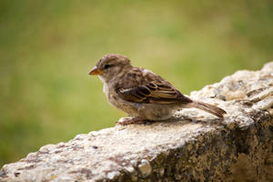 Sparrow Waits by ARC-Photographic