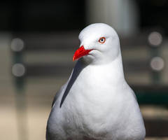 Portrait of a Seagull by ARC-Photographic