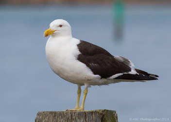 Southern black-backed gull by ARC-Photographic