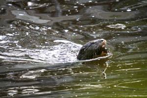 River Otter IV by natureguy