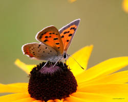 American Copper butterfly I by natureguy