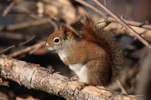 Little Red Squirrel by natureguy