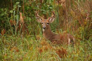 8 Point Buck in velvet by natureguy