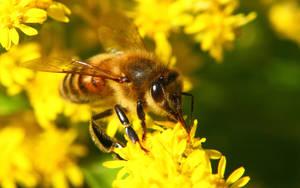 Honey Bee II by natureguy