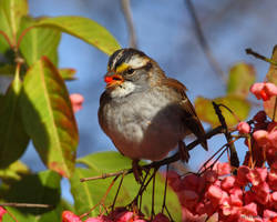 Berry eating Whitethroated Sparrow by natureguy