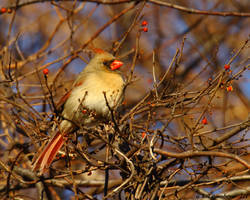 Sunny morning Cardinal by natureguy