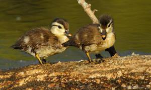 Little Wood ducks by natureguy