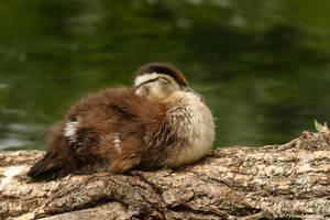 Sleep my little one... by natureguy