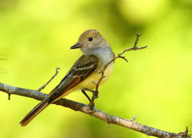 Great Crested Flycatcher 2017 by natureguy