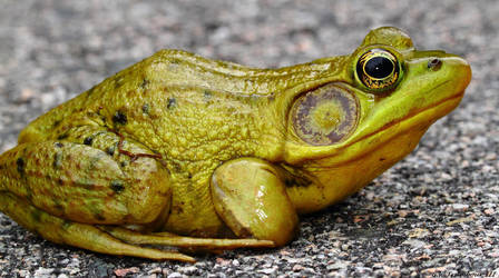 Frog study 1 by natureguy