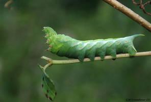 Virginia Creeper Sphinx Moth Caterpillar by natureguy