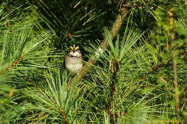 Watched by a White throated Sparrow by natureguy