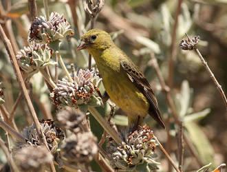 Lesser American Goldfinch Lady by Folkeye