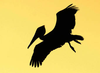 Brown Pelican by Folkeye