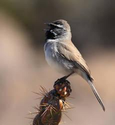 Black-throated Sparrow by Folkeye