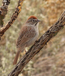 Rufous-crowned Sparrow by Folkeye