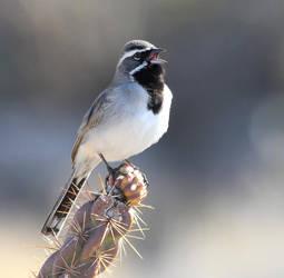 Black-throated Sparrow 2 by Folkeye
