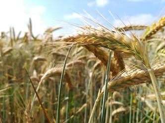Grain by Vanyanie