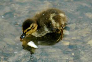Tiny Baby Duckies III by LDFranklin