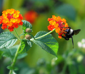Lantana And Bee by LDFranklin