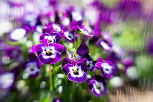 Purple Pansies by LDFranklin