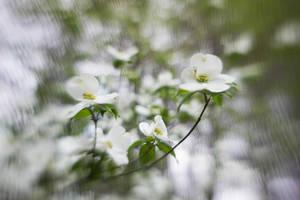 Dogwood Flowers II by LDFranklin