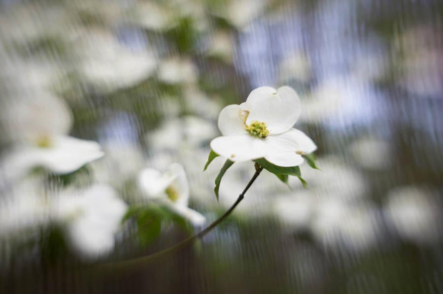 Dogwood Flowers V by LDFranklin