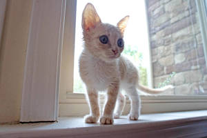 Window Kitten I by LDFranklin