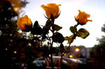 Evening Yellow Roses V by LDFranklin