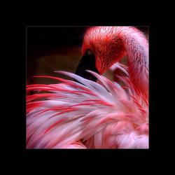Flamingo by stg123