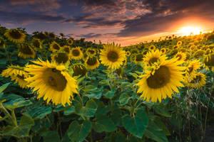 Sunflowers Sun by stg123