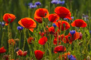 Poppys Light by stg123