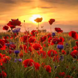 Poppys Sunset by stg123