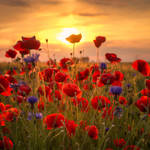 Poppys Sunset by stg123