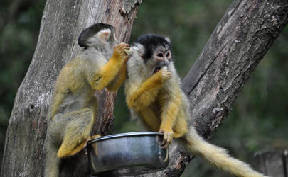 Squirrel monkeys III by Saihai