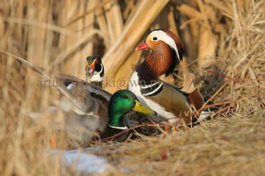 ducks meeting by arturkolinski